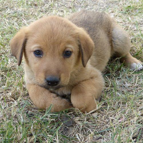 Hundekauf: Welpe oder ausgewachsen