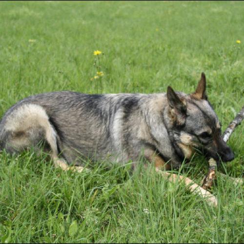 Das Leben mit einem blinden Hund