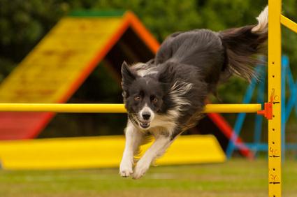 Agility Hund Sprung über Hin