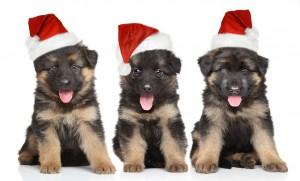 Welpen mit Weihnachtsmützen