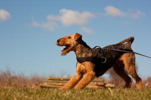 Airedale Terrier mit Schleppleine