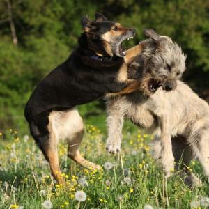 Kämpfende Hunde